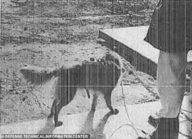 This report describes the process dogs endured through the experiment ¿ from surgery to the field for tests. According to the document, the CIA started this work in rats and monkeys, and following successful experiments the agency moved to dogs